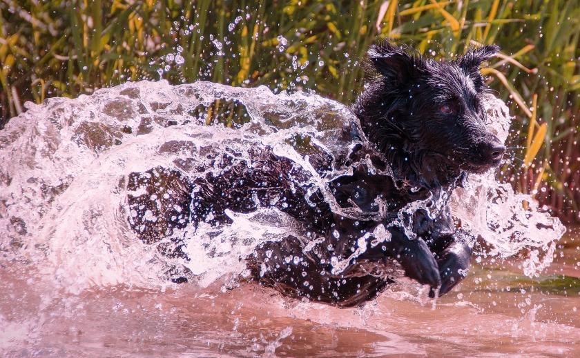wet-dog-1517741_1920